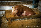 hereford pig - TheFarmersInTheDell.com