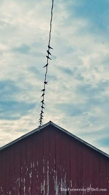barn swallows - TheFarmersInTheDell.com