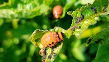 colorado potato beetle - TheFarmersInTheDell.com