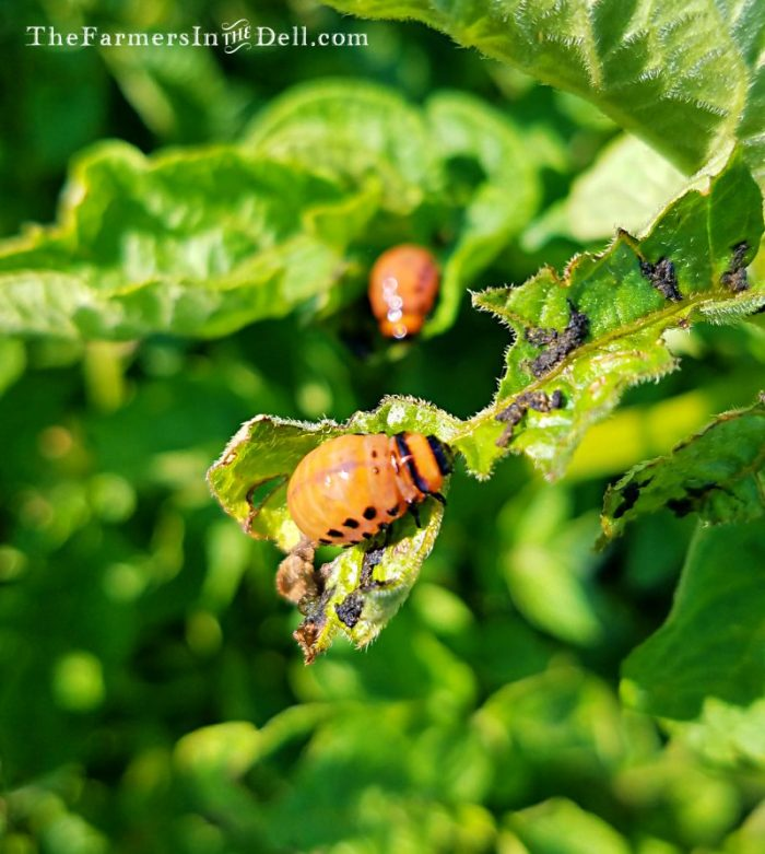 colorado potato beetle - TheFarmersInTheDell.com