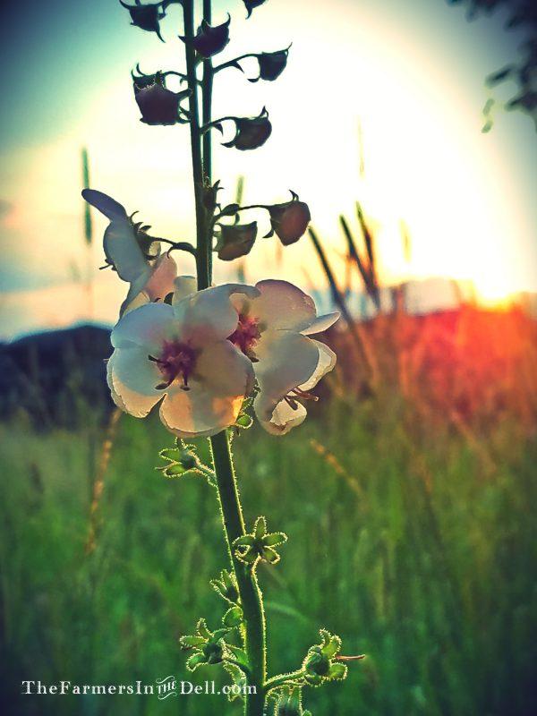 summer flowers - TheFarmersInTheDell.com
