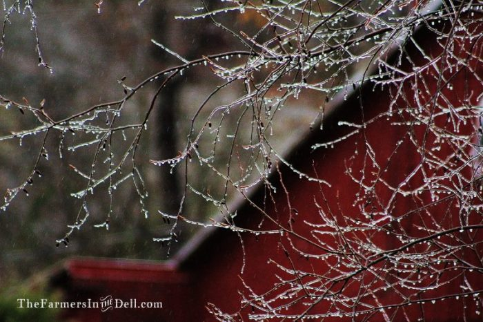ice storm - TheFarmersInTheDell.com