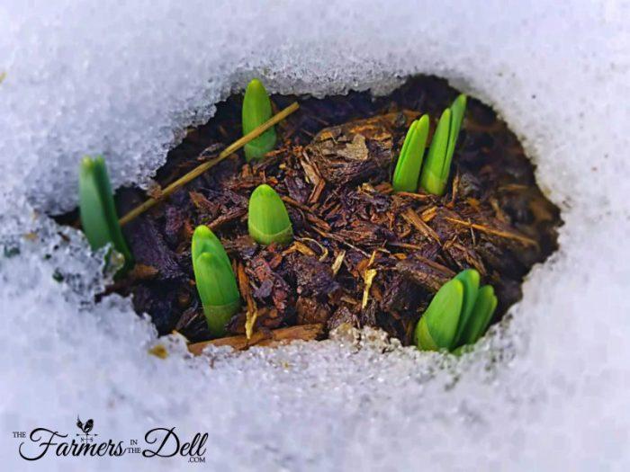 daffodils in snow - TheFarmersInTheDell.com