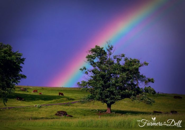 rainbow after thunderstorm - TheFarmersInTheDell.com