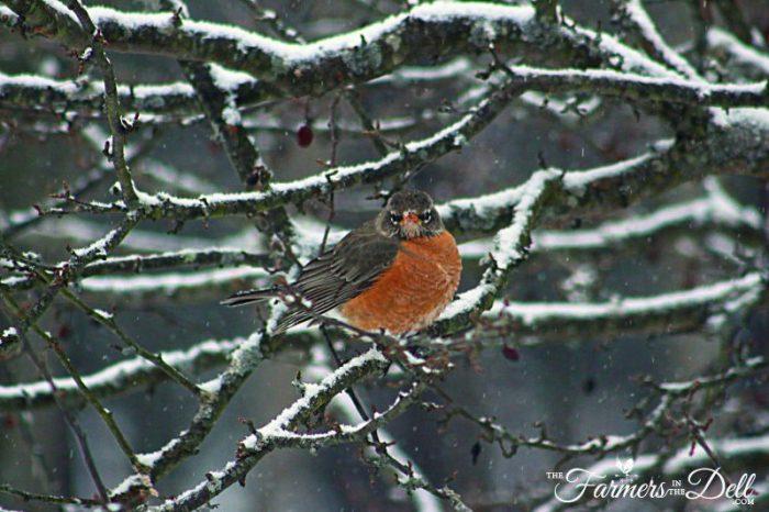grumpy robin - TheFarmersInTheDell.com