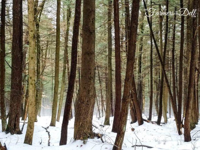 foggy woods - TheFarmersInTheDell.com