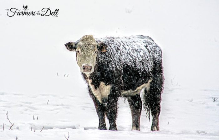 hereford in snow - TheFarmersInTheDell.com