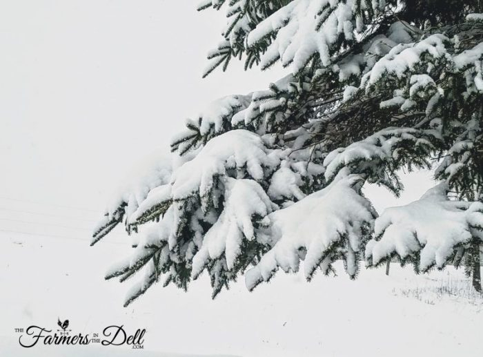 snow covered evergreen tree - TheFarmersInTheDell.com