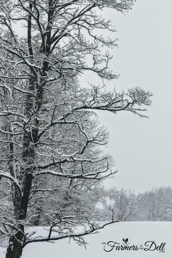 snowy maple tree - TheFarmersInTheDell.com