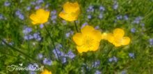 buttercups - TheFarmersInTheDell.com
